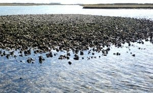 Oyster Reef Restoration Paddle Field Trip